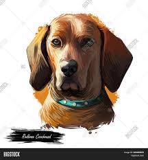 Redbone Coonhound Dog Image & Photo ...