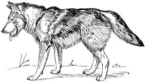 Small Picture Grey wolf coloring pages ColoringStar