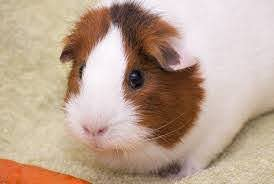 best bedding for guinea pigs top 9