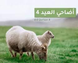 أضاحي العيد 4