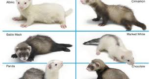 Ferret Color Chart A Day In The Life Of A Zookeeper What Color Is My Ferret