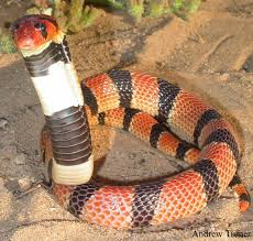 African coral snake Aspidelaps lubricus Snakes God bless them.