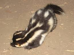 Small Picture Channel Islands spotted skunk Wikipedia