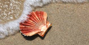 Image result for scallop shell