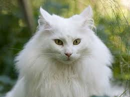 fluffy white and orange cats. Contemporary Cats Norwegian Forest Cat For Fluffy White And Orange Cats Breeds List