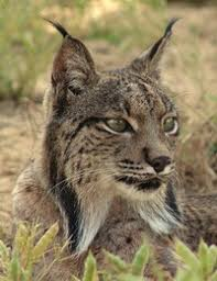 lynx size iberian lynx about zoos