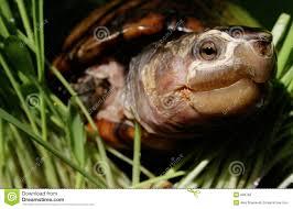 Tartaruga dacqua dolce sul riverbank fotografia stock libera da