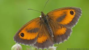 big pictures of butterflies. Brilliant Butterflies Gatekeeper Tops Big Butterfly Count Credit Conservation  Neil  Hulme For Pictures Of Butterflies E
