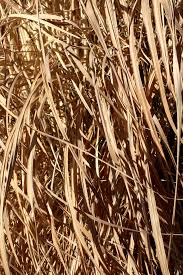 Tall Dead Reed Grass Texture Picture Free Photograph Photos