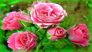 rose flower free wallpaper love 2404 full hd wallpaper desktop