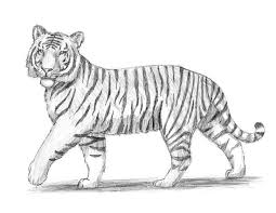 easy tiger pencil drawing. Plain Pencil How To Draw A Tiger Intended Easy Pencil Drawing L