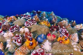 christmas-tree-worm-ocean-wide-images