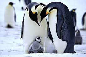 cute penguins in love. Delighful Love Adorable Alert Check Out These Cute Photos Of Baby And Mama Penguins But  With A Twist  Glamour For In Love E