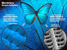 Morpho butterfly ...