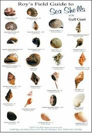 Seashell Chart 190 Best Identifying Shells Images In 2019 Shells Sea