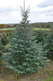 Full Size of Christmas: Christmas Trees Sale Photo Ideas Dsc 0339 Fraser Fir For: ~ Tree Lot 110661299979618wuf