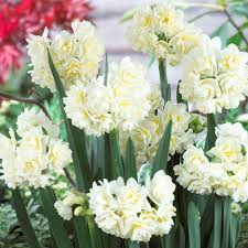 White Paper Flower Bulbs Special Deal Narcissi Erlicheer Rare Double White Fragrant Paper White Daffodils