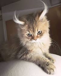 cute fluffy cats tumblr.  Tumblr Beautiful Cats Tumblr Buy With Cute Fluffy F