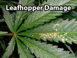 Leafhoppers Cannabis How To Identify Get Rid Of It