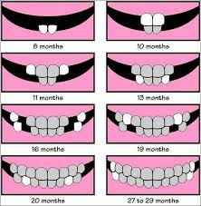 Teeth Growth Chart Tooth Growth Chart Home Is Where My Heart Is