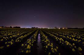 skagit valley daffodils under a starry sky