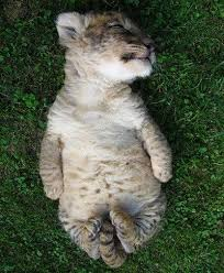 cute baby liger. Plain Liger Baby Liger For Cute Liger V