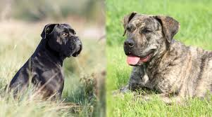 Cane Corso Growth Chart Presa Canario Vs Cane Corso Whats The Difference