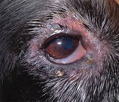 immune ated skin disorders of dogs