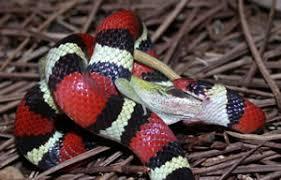 milk snake size species profile scarlet kingsnake eastern milksnake lampropeltis