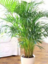 types of indoor trees indoor palm trees types common indoor houseplants
