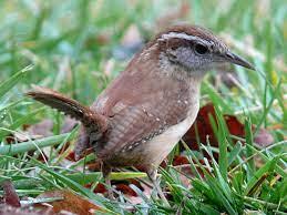 List of birds of South Carolina - Wikipedia