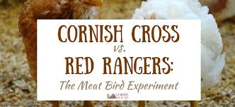 Cornish Cross Vs Red Rangers Our Meat Bird Experiment A