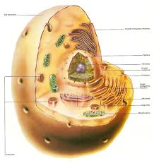 animal cell jpg structure of a typical animal cell