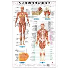 Female Anatomy Chart Anatomy Of The Human Body Muscle And Nerve Charts 3pcs Front Side Back English And Chinese Female Male Bilingual Posters
