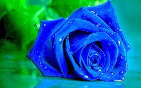 Bunga Stigma: Blue Rose Wallpapers