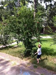 Fruit Tree Sale Houston