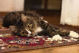 black gray and white tabby cat resting in brown red black and white rug feline