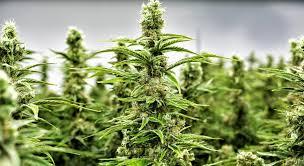 Buy Online Medical Cannabis | http://www.buyonlinemedicalcannabis.com/ | +1(972) 866-4823 - prevaccompany.over-blog.com