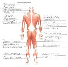 The muscular system is an organ system consisting of skeletal, smooth and cardiac muscles. Anatomy Chapter 9 Muscular System Flashcards Quizlet