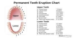 Permanent Teeth Eruption Chart Tooth Anatomy Structure Function With Pictures