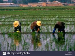chinese rice field. Exellent Rice 3 Three Chinese Men Rice Farmers Working In Field Fields With Rice Field L