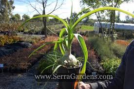 Ornithogalum caudatum - Cacti.com