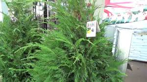Leyland Cypress - Christmas Tree - YouTube