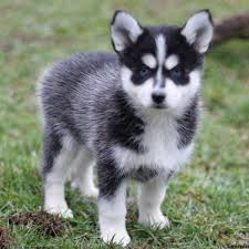 pomsky puppies for