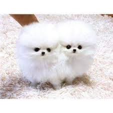 free teacup pomeranian puppies. Interesting Teacup Cute X Mas Tea Cup Pomeranian Puppies For Free Adoption On Teacup Pomeranian R