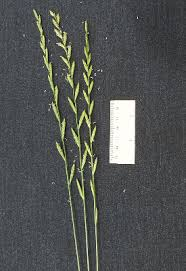 Lolium perenne - Michigan Flora