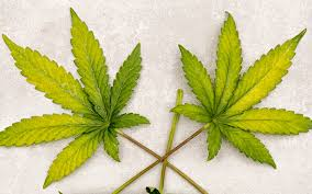 10 Marijuana Leaf Problems And How To Fix Them