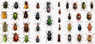 Black Beetle Identification Chart Arizona Beetles Bugs Birds And More