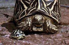 Indian Star Tortoise Diet Chart Tortoise Trust Web Star Tortoise Basics