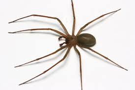 Spider Identification Chart Arkansas What Does A Brown Recluse Spider Look Like Identify Brown